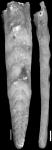 Plectofrondicularia mansfieldi Cushman & Ponton, 1931 Holotype