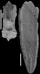 Plectofrondicularia proparri Finlay, 1947 Identified specimen