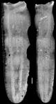 Plectofrondicularia paucicostata Cushman & Jarvis, 1929 Holotype