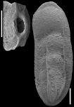 Plectolingulina paucicostata (Cushman & Jarvis, 1929) Identified specimen.