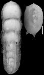 Plectofrondicularia lirata Bermudez, 1937. Holotype