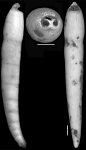Ellipsonodosaria dentaliniformis (Cushman & Jarvis, 1934) Holotype
