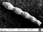 Ellipsonodosaria dentata-glabrata Cushman, 1936. Holotype
