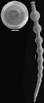 Siphonodosaria gracillima (Cushman & Jarvis, 1934) Identified specimen