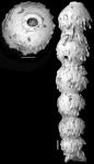 Ellipsonodosaria curvatura var. spinea Cushman, 1939 Holotype
