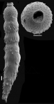 Siphonodosaria longispina (Egger, 1900) Identified specimen