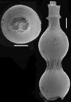 Siphonodosaria paucistriata (Galloway & Morrey, 1929) Identified specimen