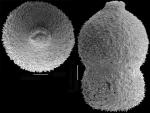 Stilostomella decurta (Bermudez, 1937) Identified specimen