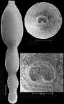 Stilostomella fistuca (Schwager, 1866) Identified specimen
