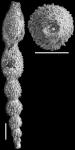 Ellipsonodosaria atlantisae var. hispidula Cushman, 1939. Holotype