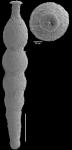Ellipsonodosaria hyugaensis Ishizaki, 1943 Topotype
