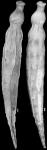 Ellipsonodosaria jabacoensis Bermudez, 1937 Holotype