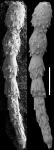 Ellipsonodosaria minuta Cushman, 1938 Holotype