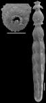 Strictocostella modesta (Bermudez, 1937). Identified specimen