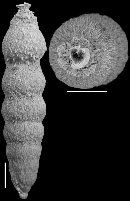 Nodogenerina spinata Cushman, 1934 Paratype