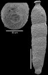 Strictocostella srinivasani Hayward, 2012 Holotype