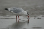 Black-headed gull  - <i>Larus ridibundus</i>