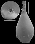 Unidens retrorsa (Reuss, 1863) Identified specimen