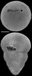 Ellipsoglandulina cameti Sacal & Debourle, 1957 Identified specimen