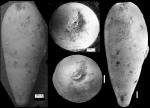 Ellipsoglandulina fragilis Bramlette, 1851 Holotype