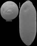 Ellipsoglandulina ovata Gawor-Biedowa, 1992 Identified specimen