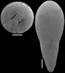 Ellipsoglandulina fragilis Bramlette, 1951. Identified specimen.