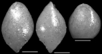 Ellipsoglandulina velascoensis Cushman, 1926 Holotype