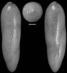 Elipsoidella dacica (Neagu, 1968) Identified specimen