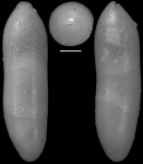 Ellipsoidella heronalleni (Storm, 1929) Identified specimen