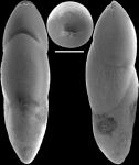Ellipsoidella pleurostomelloides Heron-Allen & Earland, 1910. Identified specimen