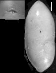 Ellipsopleurostomella stewarti Cushman & Siegfus, 1942. Holotype