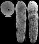 Ellipsoidella tappanae Hayward & Van Kerckhovem, 2012 Paratype
