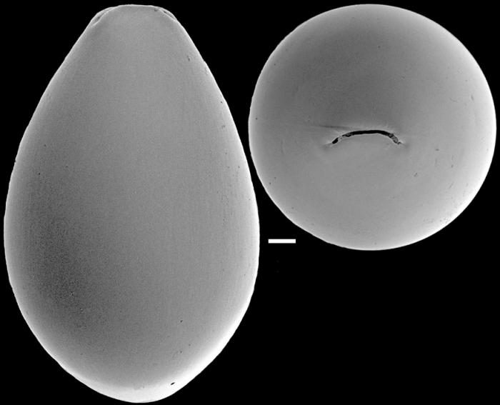 Ellipsoidina ellipsoides Seguenza, 1859