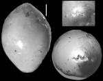 Ellipsoglandulina antillea Bermudez, 1939 Holotype