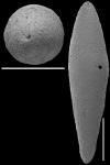 Laterohiatus acus (Cushman & Bermudez, 1937) Identified specimen.