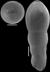 Nodosarella frequens (Storm, 1929) Identified specimen