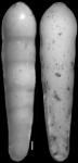 Nodosarella pacifica Cushman, 1931. Paratype