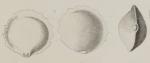 Biloculina serrata Bailey, 1861