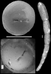 Drepaniota pachutaense Loeblich & Tappan, 1986 Holotype
