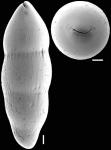 Nodosarella rotundata (d'Orbigny, 1846) Identified specimen