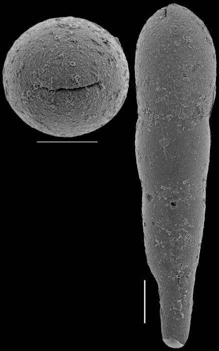Nodosarella schroederadamsae Hayward, 2012. Paratype
