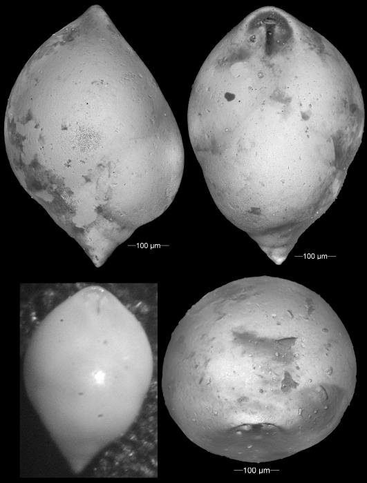 Pleurostomella bierigi Palmer & Bermudez, 1934. Holotype