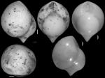 Pleurostomella obesa Cushman & Bermudez, 1937 Holotype