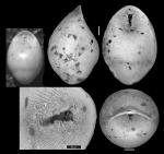 Pleurostomella bierigi var, hebeta Cushman & Stainforth, 1945 Holotype