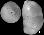 Nodosarela reflecta Cushman & Stainforth, 1945 Holotype