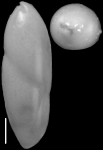 Ossaggittia thomasae Hayward & Kawagata, 2012. Paratype