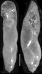 Pleurostomella acuminata Cushman, 1922 Holotype