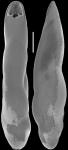 Pleurostomella acuminata Cushman, 1922. Identified specimen