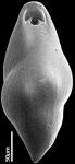 Pleurostomella acuminata Cushman, 1922. Identified juvenile specimen.