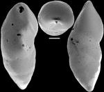 Pleurostomella acuta Hantken, 1875 Identified specimen